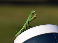 811_3954.jpg=080119T3 (laurie.mccarty) Tags: prayingmantis mantis insect nature naturephotography macro bokeh nikon nikond810 tamron90mmf28