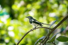 Oriental Magpie-Robin (Bangla: doweel), the national bird of Bangladesh (Burning Heaven) Tags: bird nature canon dof tele canoneos550d eos award dhaka bangladesh fantasticnature 55250mm
