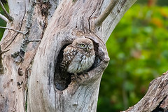 Little Owl (drbut) Tags: littleowl athenenoctua birdofprey trees farmland countryside bird birds avian wildlife nature