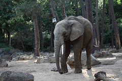 IMG_0594 - ZOO DE LA FLÈCHE (michel91530) Tags: zoodelafleche sarthe paysdeloire canon5dii elephantdafrique