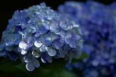 紫陽花 / Hydrangea (O. Heda) Tags: hydrangea 紫陽花 青 blue