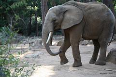 IMG_0602 - ZOO DE LA FLÈCHE (michel91530) Tags: zoodelafleche sarthe paysdeloire canon5dii elephantdafrique
