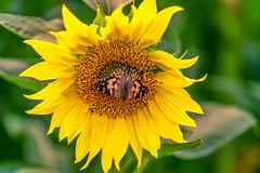 Schmetterling (Nic2209) Tags: nikond750 nic2209 flickr2019 flickr 2019 allemange alemania europa deutschland germany ruhrgebiet ruhrpott westfalen licht farben light colors sonnenblumenfeld dawowirunssowohlfühlen ninis sigma105mm makro