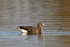 0S8A2657X. Greater White-fronted Goose (Anser albifrons) Ad (Nick Ransdale) Tags: anseralbifrons greaterwhitefrontedgoose