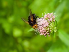 Tachinaire corpulente (tachina grossa) (pierre.pruvot2) Tags: arthropodes diptères eupatoire fly guînes hautsdefrance insectes lumixg9 macro olympus60mmmacro panasonic