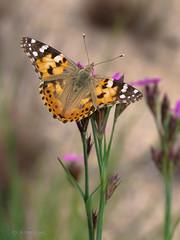 Distelfalter (Vanessa cardui) (AchimOWL) Tags: schmetterling insekt insect tier tiere animal macro outdoor pflanze blüte natur nature lumix panasonic tagfalter ngc wildlife fauna edelfalter butterfly deutschland distelfalter g9