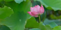 _Y2U9980.0613.Hồng Đà.Tam Nông.Phú Thọ (hoanglongphoto) Tags: asia asian vietnam northvietnam flower lotus nature natureinvietnam canon thiênnhiên hoa hoasen hoasenhồng pinklotus canonef100400mmf4556lisusm blossom lotusblossom cậncảnh close closeup hồngđà tamnông phúthọ northernvietnam canoneos1dx 1x2 imagesize1x2 lotusblosoom