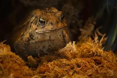 eastern american toad metro park march 2018 1 (njumer) Tags: michigan wildlife wild animal animals nature vertebrate vertebrates metro park parks st clair toad toads amphibian amphibians eastern american