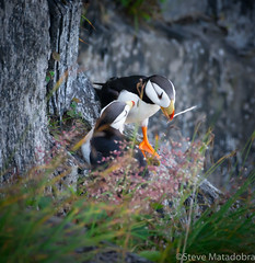 pw (matadobraphotography) Tags: puffin alaska birds puffins