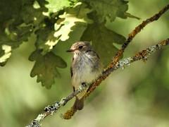 Gobemouche gris (chriscrst photo66) Tags: bird animal arbre oiseau parc jardin gironde gobemouche gris photographie photography ornithologie ornithology nature wildlife nikon passereau