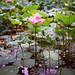 A Full-Blown Lotus