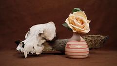 Still Life (DayBreak.Images) Tags: tabletop stilllife skull vase flower rose bark canondslr lomography neptune thalassa 35mm canon430ex manfrottolumimuse canonphotopro4