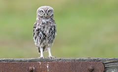 Little Owl (Athene noctua). (Bob Eade) Tags: littleowl athenenoctua owl birds avian summer eastsussex sussex raptor