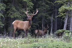 Handsome Elk (Canon Queen Rocks (3,071,000 + views)) Tags: animals animal elk bullelk antlers trees wildlife wild nature nationalpark naturephotography banffnationalpark banff canada alberta