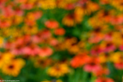 190723cz7-09411600 (Jim Frazier) Tags: 2019 20190723cantigny 2019cantigny echinacea abstract background bloom blooming blossoming blossoms blur blurred blurredbackground botanic botanicgardens botanical botanicalgardens buroakgarden cantigny cantignypark carpet colorfield coneflowers curtain desktop dupage dupagecounty fieldtrip flora floral flowering flowers forbs formalgardens gardening gardens horticulture il illinois intentionally intentionallyblurred jimfraziercom july middaylight museums nature orange outoffocus parks photowalk pink plants powerpoint preserves publicgardens q2 smooth softfocus summer sunny tocantignylizandjeff toexporttoflickr upperburoakgarden wall wallpaper wheaton yellow private toreveal revealed