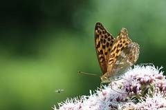 Lepidoptera (Phil Arachno) Tags: germany lepidoptera insecta arthropoda daxlanden badenwürttemberg