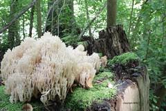 mushroom at work (Phil Arachno) Tags: germany daxlanden laowa badenwürttemberg mushroom wideangle