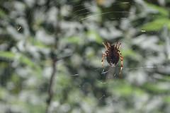 La Tela sul Monte Autore (al.rubicondi) Tags: monteautore italia italy ragno spider web ragnatela macro