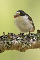 Pied Flycatcher (JaneTurner68) Tags: piedflycatcher flycatcher bird insect male blackwhite woodland canon1dmkiv canon600mmf4lens canon aviemore scottishhighlands scotland