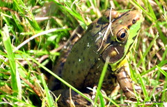 DSC_0617 (RachidH) Tags: amphibians batraciens frog greenfrog rainette grenouille northerngreenfrog ranaclamitansmelanota rana sparta nj rachidh nature lithobatesclamitansmelanota lithobates grenouilleverte