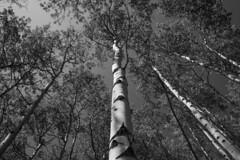 Aspen Stretches BW (Darren Umbsaar) Tags: mountains mountain carnarvon lake rockies alberta kananaskis country canadian canada water river blue aqua turquoise alpine tarn hike