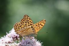 Lepidoptera (Phil Arachno) Tags: germany badenwürttemberg lepidoptera insecta arthropoda daxlanden