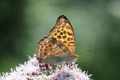 Lepidoptera (Phil Arachno) Tags: germany lepidoptera badenwürttemberg daxlanden arthropoda insecta
