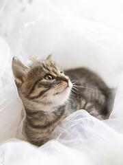 20190624_8187c (Fantasyfan.) Tags: raitapaidat kitten european breed fantasyfanin kuunkissan kissala