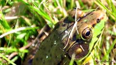 DSC_0617-001 (RachidH) Tags: amphibians batraciens frog greenfrog rainette grenouille northerngreenfrog ranaclamitansmelanota rana sparta nj rachidh nature lithobatesclamitansmelanota lithobates grenouilleverte