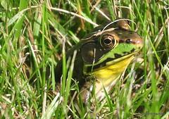 DSC_0613 (RachidH) Tags: amphibians batraciens frog greenfrog rainette grenouille northerngreenfrog ranaclamitansmelanota rana sparta nj rachidh nature lithobatesclamitansmelanota lithobates grenouilleverte