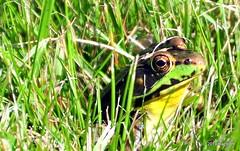 DSC_0611 (RachidH) Tags: amphibians batraciens frog greenfrog rainette grenouille northerngreenfrog ranaclamitansmelanota rana sparta nj rachidh nature lithobatesclamitansmelanota lithobates grenouilleverte