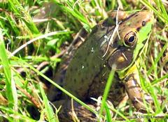 DSC_0618 (RachidH) Tags: amphibians batraciens frog greenfrog rainette grenouille northerngreenfrog ranaclamitansmelanota rana sparta nj rachidh nature lithobatesclamitansmelanota lithobates grenouilleverte