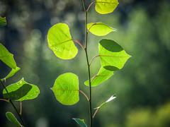Aspen Leaves (oldhiker111) Tags: aspens backlit leaves green