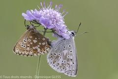 Argus bleu-nacré (accouplement) - Chalkhill blue (mating) (dom67150) Tags: alsace argusbleunacré basrhin butterfly chalkhillblue france herbsheim insecte lysandracoridon nature papillon ried accouplement mating
