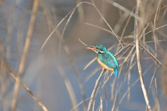 A Little Jewel (The Spirit of the World ( On and Off)) Tags: bird fowl kingfisher rajasthan ranthamborepark nationalpark nationalparkofindia reeds lake bokeh india nature wildlife wilderness pond turquoise
