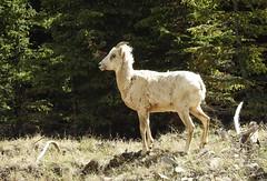 Big Horn Sheep (pamfromcalgary) Tags: animal bighornsheep kananaskis pamhawkes