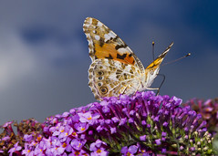 Painted lady (Vanessa cardui) (wayne.withers1970) Tags: small pretty wings fly flight flying color colorful nature natural colour colourful wild wildlife wales summer macromonday butterfly moth flickr dof naturephotography country countryside outside outdoors alive fauna flora sky clouds canon sigma light black white blue brown orange green purple fine flower flowers dark macro macromondays invertebrate bug animal insect plant bloom blossom vegetation garden