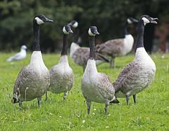 Goose alert (Gill Stafford) Tags: gillstafford gillys england merseyside liverpool greenbank park canadian geese