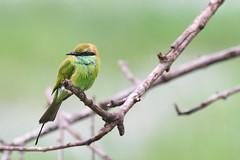 Asian Green Bee-eater - 4 (Gomen S) Tags: animal wildlife nature srilanka 2018 80400mm d500 nikon morning bird