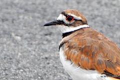 DSC_0750 A (RachidH) Tags: birds oiseaux tricky trickybird killdeer charadrius charadriusvociferus pluvierkildir pluvier kildir larusedupluvier rockawaymall rockaway newjersey nj rachidh nature