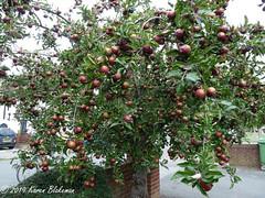 August 4th, 2019 Bumper Harvest (karenblakeman) Tags: southviewavenue caversham uk tree apples fruit 2019 2019pad august reading berkshire