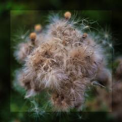Acker Kratzdistel Samenstand (blasjaz) Tags: blasjaz botanik samenstand ackerkratzdistel asteraceae pflanze plant patternsinnature