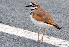 DSC_0750 (RachidH) Tags: birds oiseaux tricky trickybird killdeer charadrius charadriusvociferus pluvierkildir pluvier kildir larusedupluvier rockawaymall rockaway newjersey nj rachidh nature