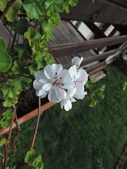 (antoniacuantica) Tags: muscat alba floare white flower verde green frunza leaf