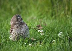 Big World...Little Owl (Fourteenfoottiger) Tags: cute bird nature grass countryside pretty farmland raptor owl fledgling birdofprey owlet littleowl wildbird athenenocturne fluffy