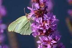 citroenvlinder (jandewit2) Tags: citroenvlinder vlinder pieridae natuur nederland netherlands natuurmonumenten nikon insect