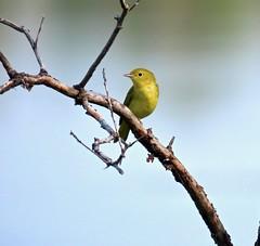 Follow The Yellow Brick Road (Meryl Raddatz) Tags: yellow bird warbler yellowwarbler nature wildlife canada naturephotography