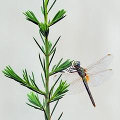 Dragonfly (Engin Süzen) Tags: dragonflies dragonfly macro makro macrophotopraphy bugmacro bug bugs nature natura natgeo m43 m43turkiye olympus olympusem1markii olympusomdem1markii panasonic lumix