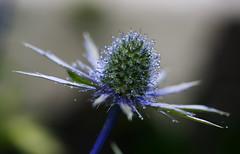 Sea Holly. (Chris Kilpatrick) Tags: blue chris plant flower macro nature canon garden outdoor sigma august douglas isleofman seaholly sigma105mm canon7dmk2