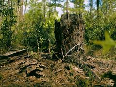 Pine Tree Stump (surfcaster9) Tags: stump pinetree forest florida bark pineneedles lumix25mmf17asph lumixg7 woods nature outdoors